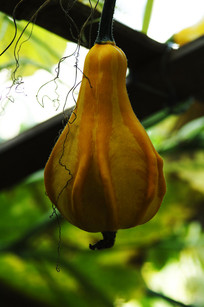 挂在树藤上的南瓜