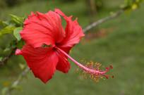 红色扶桑花