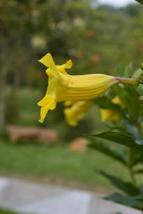 黄婵花开了