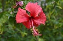 花姿优美的红色扶桑花