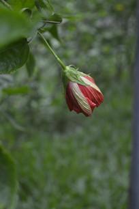 即将盛开的重瓣扶桑花
