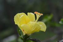 金黄扶桑花朵