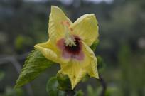 金黄色扶桑花