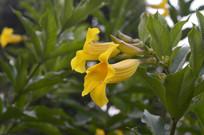 两朵黄婵花