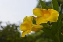 两朵软枝黄婵