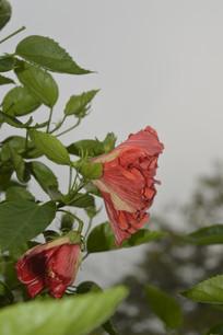 两朵重瓣深红色朱槿牡丹
