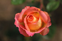 玫瑰形的月季花朵