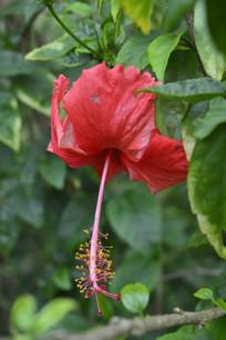美丽的红扶桑