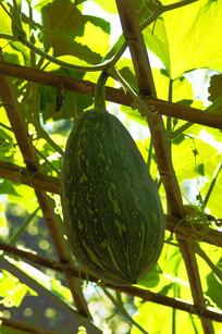农田里的 大南瓜