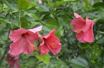 三朵单瓣扶桑花