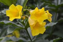 三朵黄婵花