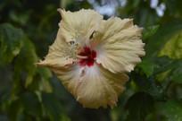 盛开的淡橙黄色扶桑花朵