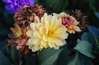盛开和凋谢的花朵