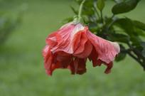 硕大的重瓣扶桑花