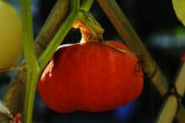 秧上的南瓜