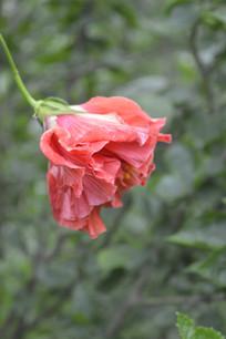 一朵红色重瓣朱槿花