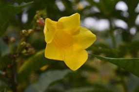 一朵软枝黄婵