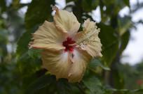一朵硕大的淡黄色扶桑花