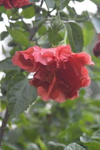一朵硕大的深红色扶桑花