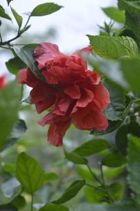 一朵硕大的酸醋花