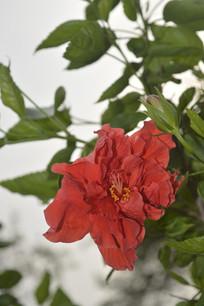 一朵硕大的重瓣红花扶桑