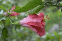 一朵重瓣朱槿牡丹