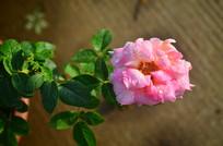 一棵月季花花卉图片