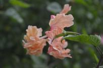 淡橙色重瓣扶桑花