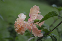 淡橙色重瓣扶桑花卉