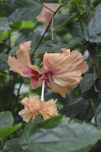淡橙色重瓣朱槿花