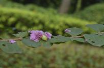 掉落在树枝上的紫薇花