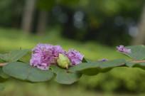 掉在枝叶上的紫薇花