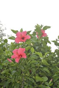 扶桑枝叶与花朵
