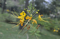 黄凤凰花朵