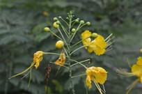 黄色凤凰花
