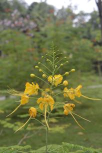 金黄色的凤凰花