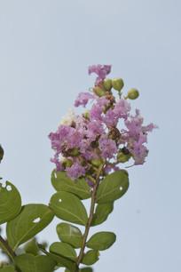 蓝天下的紫薇花