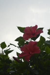 逆光下的扶桑花枝