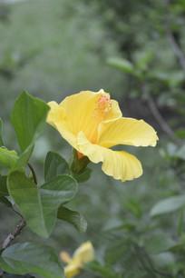 人工栽种的黄扶桑