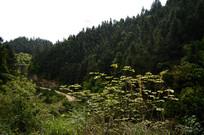 山坡上的杉树林