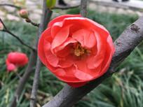 盛开的木瓜海棠花