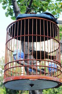 树上挂鸟笼遛鸟