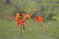 绽放的橙红色凤凰花
