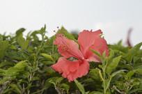 枝叶丛中的一朵红扶桑