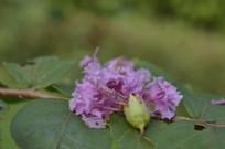 紫薇花近拍