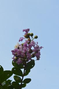 紫薇花摄影图