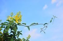 黄色小花花藤