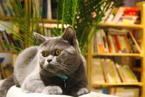 惊讶的小蓝猫