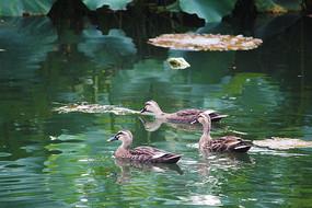 觅食中的鸭群