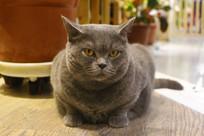 无奈的肥蓝猫